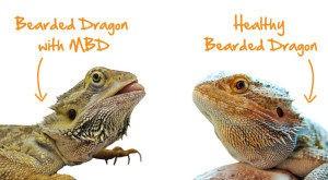 Metabolic Bone Disease Mbd Reptifiles