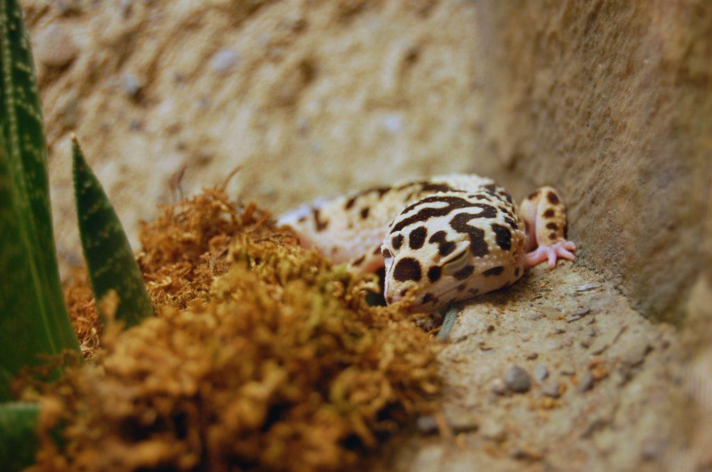 Leopard Gecko Brumation Leopard Gecko Care Packet