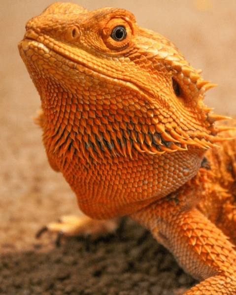 Orange Citrus Bearded Dragon - Deliora