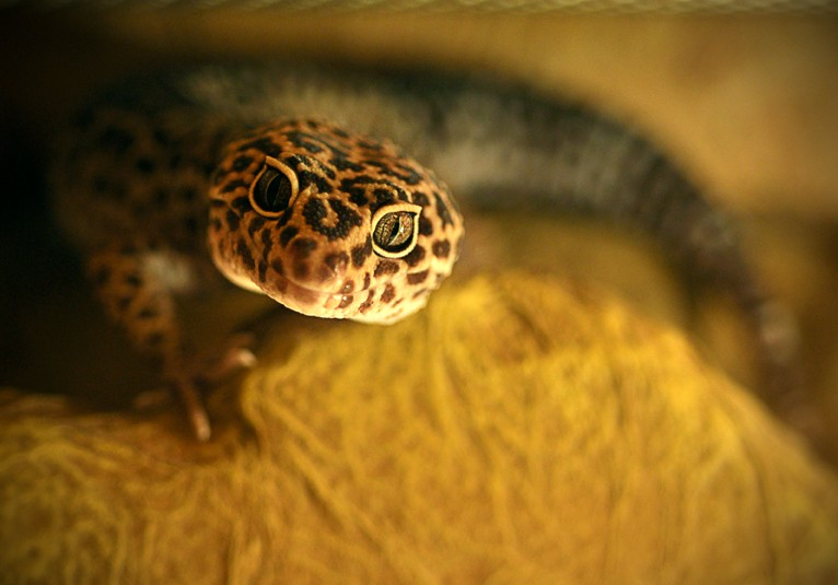 Leopard Gecko Temperatures Amp Humidity Leopard Gecko Care