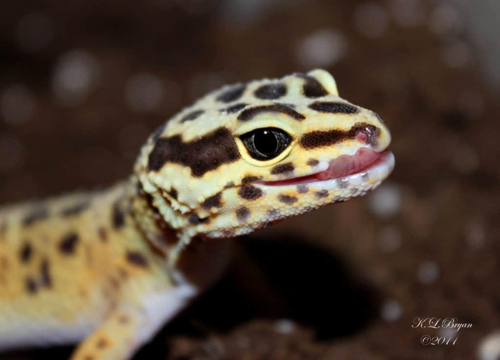 About Leopard Gecko Parasites Leopard Gecko Care