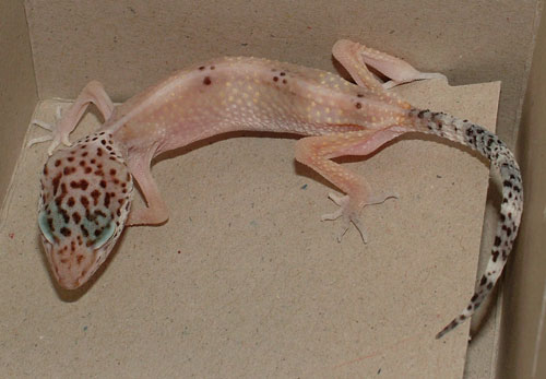 Stick Tail Disease Leopard Gecko Care Packet