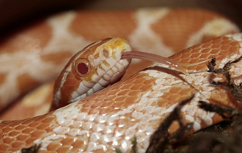 Corn Snake Temperatures Humidity Requirements Reptifiles