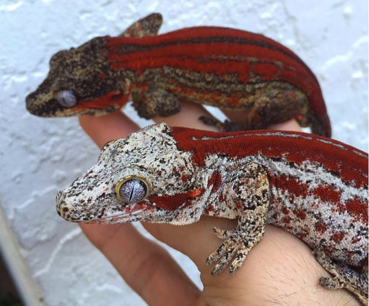Gargoyle Gecko Terrarium Size Requirements Reptifiles
