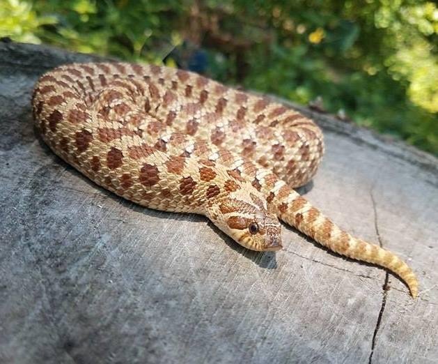 Hognose Snake Temperatures Humidity Amp Lighting Considerations